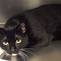 Domestic Shorthair Cat for adoption in Westminster, California - Panda