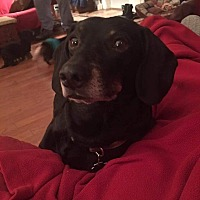 Dachshund/Beagle Mix Dog for adoption in Marcellus, Michigan - Bullet