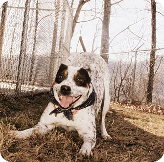 Cattle Dog Dog for adoption in Sylva, North Carolina - Jersey Boy