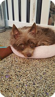 Yorkie, Yorkshire Terrier Mix Dog for adoption in Thousand Oaks, California - Katie