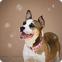 Boxer/Husky Mix Dog for adoption in Marietta, Georgia - Rose