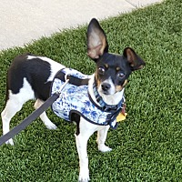 Adopt A Pet :: Tobee-ADOPT Me! - Redondo Beach, CA