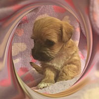 Bichon Frise/Chihuahua Mix Puppy for adoption in Tulsa, Oklahoma - Adopted!! Lucy - NV