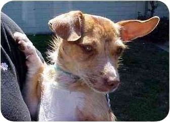 Chihuahua Mix Dog for adoption in Spring Valley, California - Freckles