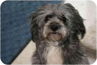 Poodle (Miniature) Mix Dog for adoption in Saint Charles, Missouri - Pepper