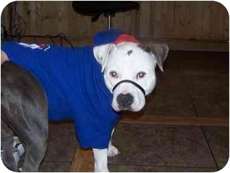 American Pit Bull Terrier Dog for adoption in All of Colorado, Colorado - Brenna