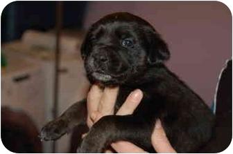 Labrador Retriever/Retriever (Unknown Type) Mix Puppy for adoption in Northville, Michigan - Dahlia - pending