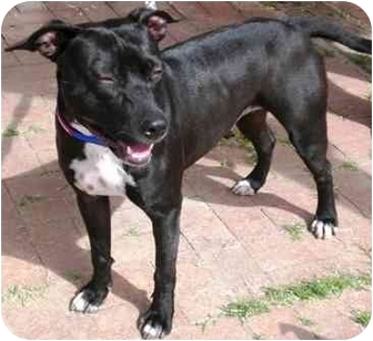 American Pit Bull Terrier/American Staffordshire Terrier Mix Dog for adoption in Gilbert, Arizona - Kona