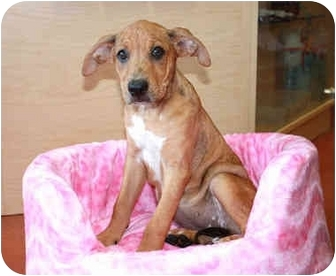 Boxer/Labrador Retriever Mix Puppy for adoption in Coral Springs, Florida - Blondie