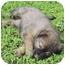 Photo 2 - Australian Shepherd/Australian Cattle Dog Mix Puppy for adoption in El Segundo, California - Travis