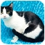 Photo 4 - Domestic Shorthair Cat for adoption in Houston, Texas - Domino