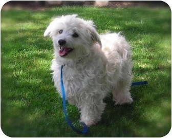 Maltese/Poodle (Miniature) Mix Dog for adoption in El Cajon, California - Priscilla