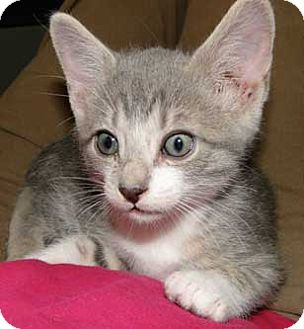 Domestic Shorthair Kitten for adoption in Schertz, Texas - Raj