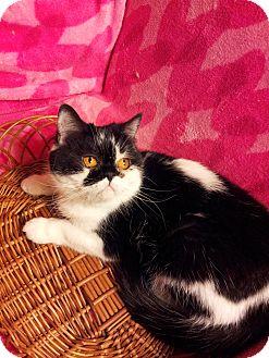 Exotic Cat for adoption in Columbus, Ohio - Lady Onyx