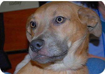 Basset Hound/Labrador Retriever Mix Puppy for adoption in Loudonville, New York - Ginger
