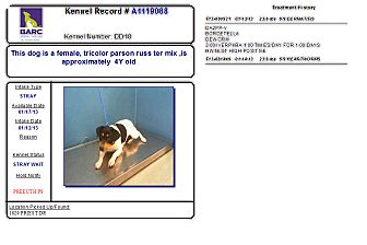 Jack Russell Terrier Mix Dog for adoption in Houston, Texas - Female in Houston
