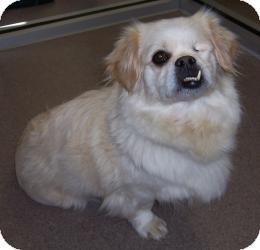 Pekingese Mix Dog for adoption in Chambersburg, Pennsylvania - Mitzie