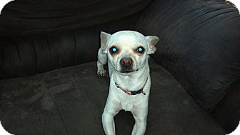 Chihuahua Dog for adoption in La Crosse, Wisconsin - Papi