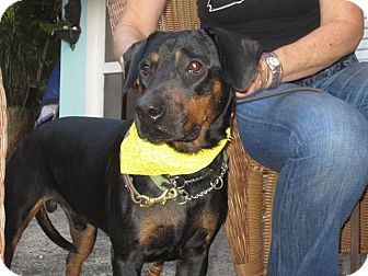 Rottweiler Mix Puppy for adoption in Pembroke Pines, Florida - Calvin
