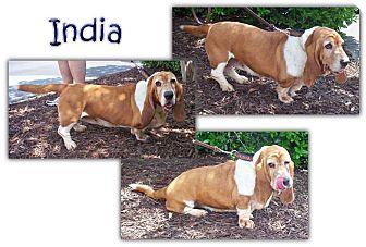 Basset Hound Dog for adoption in Marietta, Georgia - India