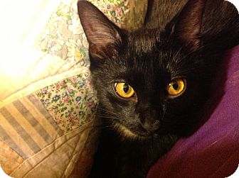 Domestic Shorthair Kitten for adoption in Huntsville, Alabama - Milo