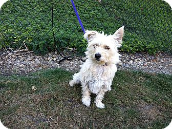 Westie, West Highland White Terrier Mix Dog for adoption in Mission Viejo, California - Tallulah
