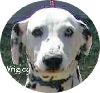 Dalmatian Dog for adoption in Mandeville Canyon, California - Wrigley