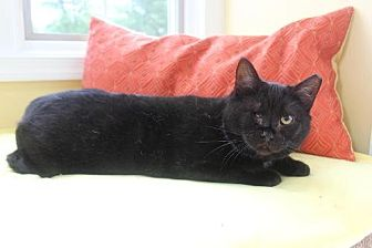 Domestic Shorthair Cat for adoption in Yardley, Pennsylvania - Misty