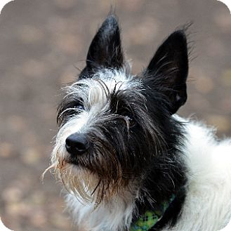 Border Collie/Jack Russell Terrier Mix Dog for adoption in Garland, Texas - Snafu