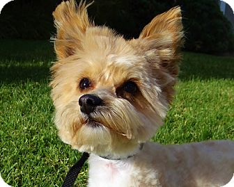 Yorkie, Yorkshire Terrier/Maltese Mix Dog for adoption in Inland Empire, California - RICO SUAVE