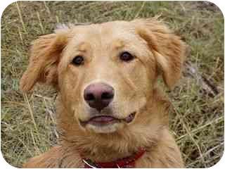 Golden Retriever/Labrador Retriever Mix Dog for adoption in Roundup, Montana - Ralphie