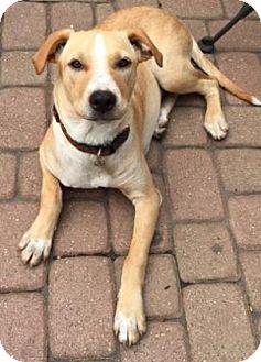 Labrador Retriever/Pointer Mix Puppy for adoption in Oak Park, Illinois - Flynn