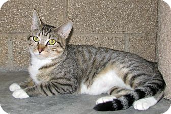 Domestic Shorthair Cat for adoption in Ruidoso, New Mexico - Maggie