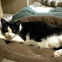 Domestic Shorthair Cat for adoption in Bartlett, Illinois - Bailey
