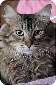 Maine Coon Cat for adoption in Columbus, Ohio - Clancy