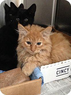 Domestic Longhair Cat for adoption in Covington, Kentucky - Acorn
