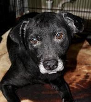 Labrador Retriever Dog for adoption in Memphis, Tennessee - Sweetie