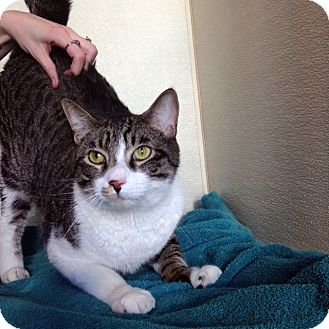 Domestic Shorthair Cat for adoption in Las Vegas, Nevada - Woodrow