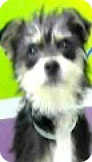 Shih Tzu/Yorkie, Yorkshire Terrier Mix Dog for adoption in Boulder, Colorado - Mattie-ADOPTION PENDING