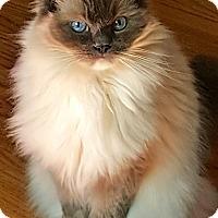 Adopt A Pet :: Zsa Zsa - Davis, CA
