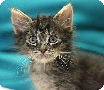 Domestic Longhair Kitten for adoption in Canoga Park, California - Meggie
