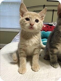 Domestic Shorthair Kitten for adoption in Marietta, Georgia - Echo
