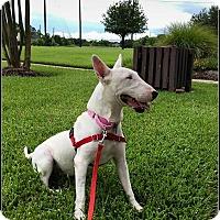 Adopt A Pet :: Lavender - Houston, TX