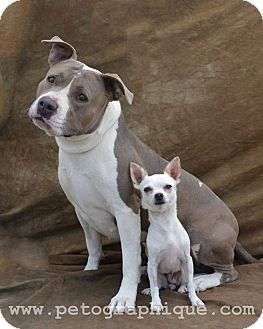 Pit Bull Terrier Mix Dog for adoption in Las Vegas, Nevada - Sasha