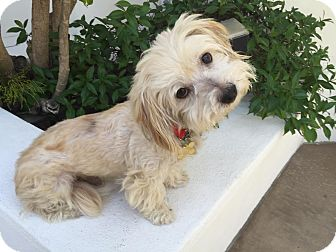 Lhasa Apso/Bichon Frise Mix Dog for adoption in Los Angeles, California - ZAKI