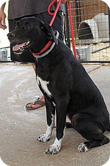 Labrador Retriever/Border Collie Mix Dog for adoption in Leslie, Arkansas - Miney