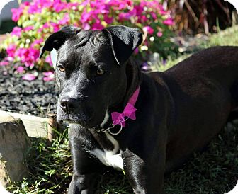 Labrador Retriever/American Staffordshire Terrier Mix Dog for adoption in Bergen County, New Jersey - Katie