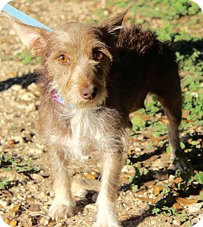 Terrier (Unknown Type, Small) Mix Dog for adoption in Monroeville, Pennsylvania - CAROLINE