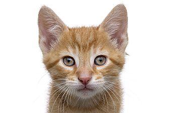 Domestic Shorthair Kitten for adoption in Royal Oak, Michigan - CYLDE