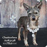 Adopt A Pet :: CHATTERBOX - Conroe, TX